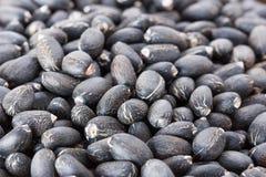 Jatropha curcas seeds Stock Image