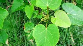 Jatropha plant green leaves