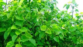Jatropha tree green leaves snap