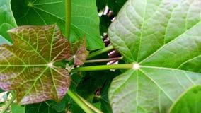 Jatropha new leaves