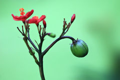 Jatropha integerrima. Red flowers and green fruit, the color contrast strongly Stock Photos