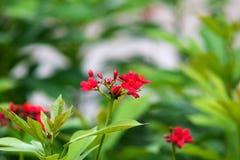 Jatropha integerrima fotografia stock