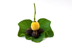 Jatropha and leaf Royalty Free Stock Photo