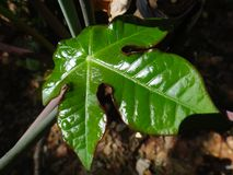 Jatropha leaf Stock Image