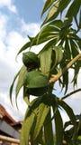 Jatropha Multifida Linn stock fotografie
