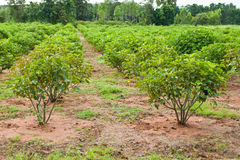 Jatropha plant Stock Photography