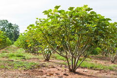 Jatropha plant Royalty Free Stock Photography