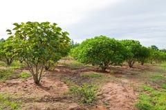 Jatropha plant Royalty Free Stock Images