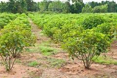 Jatropha plant Stock Images