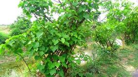 Jatropha plantation at roadside close up