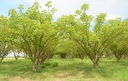 Jatropha plantations Stock Photography