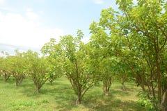 Jatropha plantations Royalty Free Stock Photos