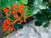 Jatropha podagrica. Is a species of plants known by several English common names, including Buddha belly plant, bottleplant shrub, gout plant, purging-nut Stock Image