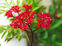 Jatropha podagrica or tartogo Royalty Free Stock Photography