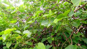 Jatropha tree branches green leaves