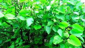 Jatropha tree green leaves close up