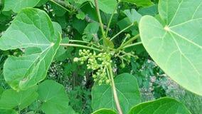 Jatropha tree green leaves flower buds