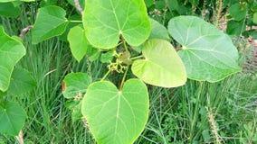 Jatropha tree green leaves