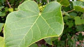 Jatropha tree leaf