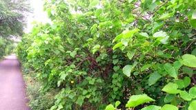 Jatropha tree at roadside