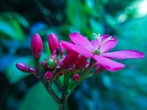 Jatrophapandurifolia arkivfoto