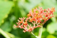 Jatrophapodagrica op achtergrond. Royalty-vrije Stock Foto's