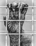 Jaula grapping enjaulada de la mano del primate fotos de archivo