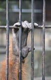 Jaula que ase de la mano del orangután Fotografía de archivo