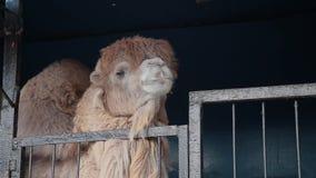 Jaula y espera del chew del camello de la diversión para la comida almacen de metraje de vídeo
