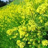 jaune Photo libre de droits