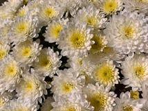 Jaune blanc de chrysanthèmes Photographie stock libre de droits