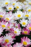 jaune blanc de chrysanthemum Image libre de droits