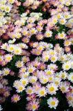 jaune blanc de chrysanthemum Images libres de droits