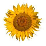 jaune blanc de tournesol d'isolement par fond Zone de Sunflowers Fleurs de tournesols image stock