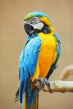 jaune bleu de perroquet de macaw Photo libre de droits