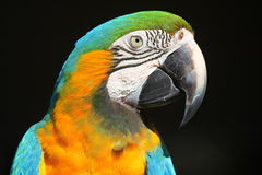 jaune bleu de perroquet de macaw Images stock