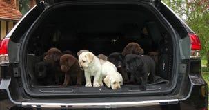 Jaune, Brown et labrador retriever noir, chiots dans le tronc d'une voiture, Normandie en France, mouvement lent banque de vidéos