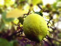 Jaune citron Photo stock
