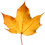 jaune d'érable de lame d'automne Image libre de droits