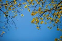 Jaune d'arbre l'été Photos libres de droits