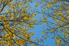 Jaune d'arbre l'été Photographie stock libre de droits