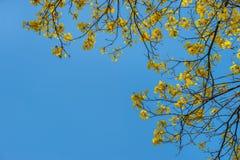 Jaune d'arbre l'été Photos stock