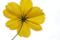 jaune d'isolement par fleur Image stock