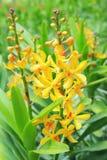jaune d'orchidées Photo libre de droits