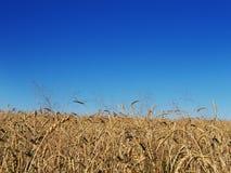 Jaune d'or d'un grand champ de blé, des prés, et du plan rapproché d'une fleur avec le foyer sélectif image libre de droits