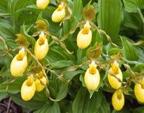 jaune de chausson de l'orchidée s de dame Photographie stock libre de droits