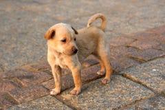 jaune de chien d'arrêt de Labrador Photo libre de droits