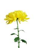 jaune de chrysanthemum images stock