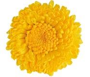 jaune de chrysanthemum photographie stock libre de droits