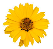 jaune de fleur Image stock
